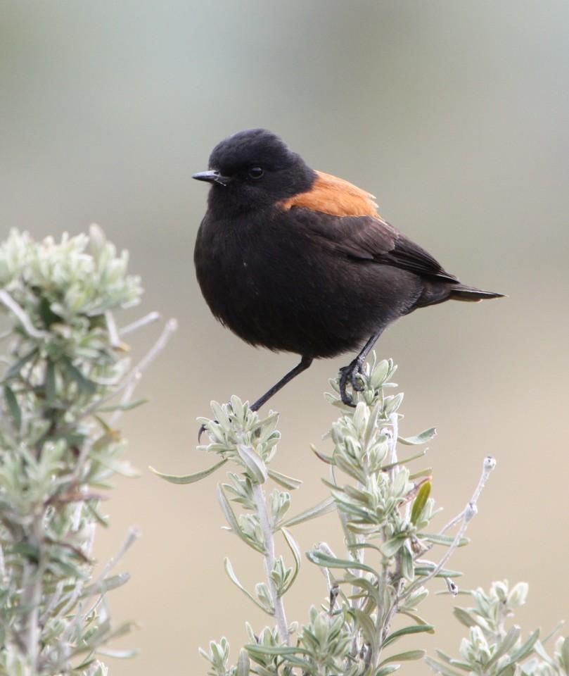 Austral Negrito (male)