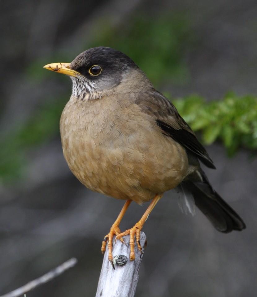 Austral  Thrush