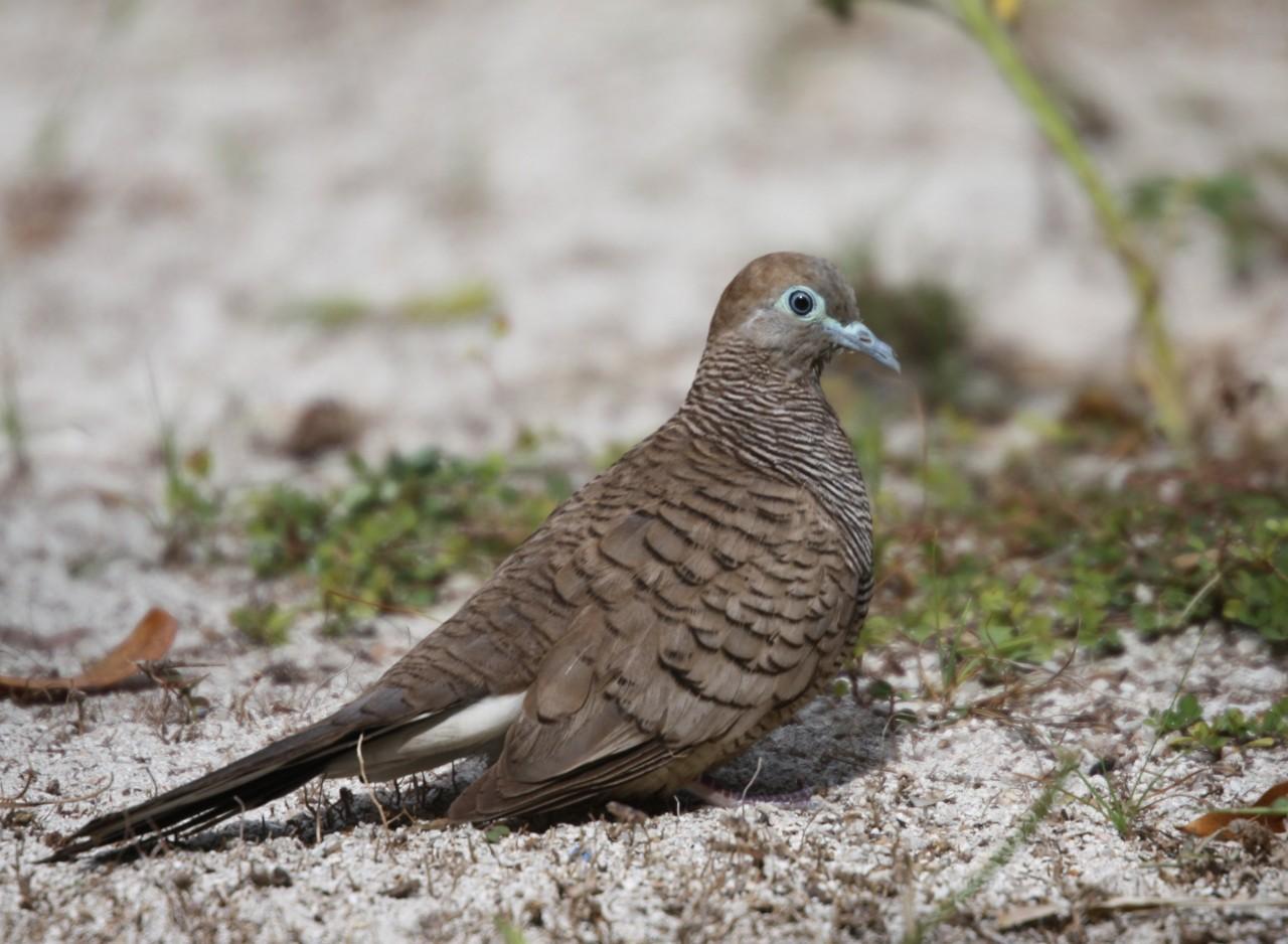 Barred Ground Dove