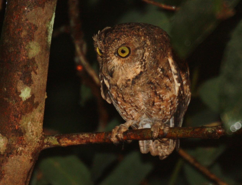 Seychelles Scops Owl