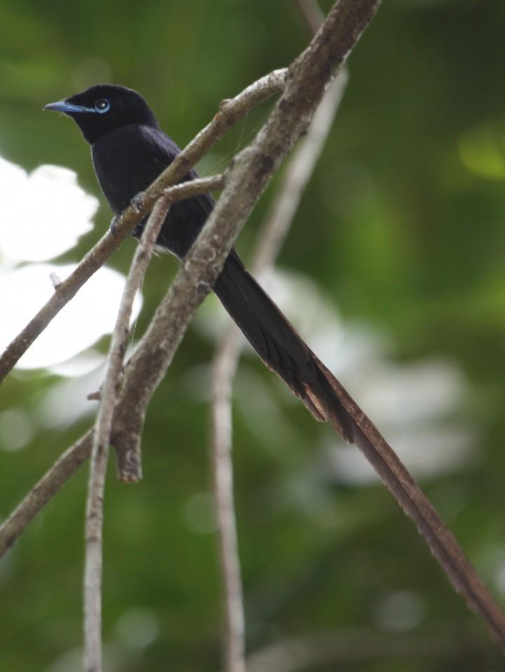 Seychelles Paradise Flycatcher male