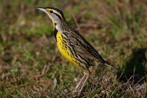 Eastern Meadowlark, Florida 2009