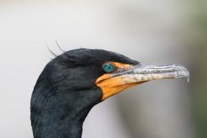 Double-crested Cormorant, Florida 2009