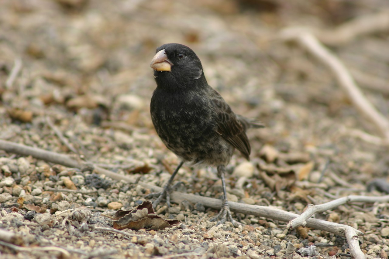 Medium Ground Finch