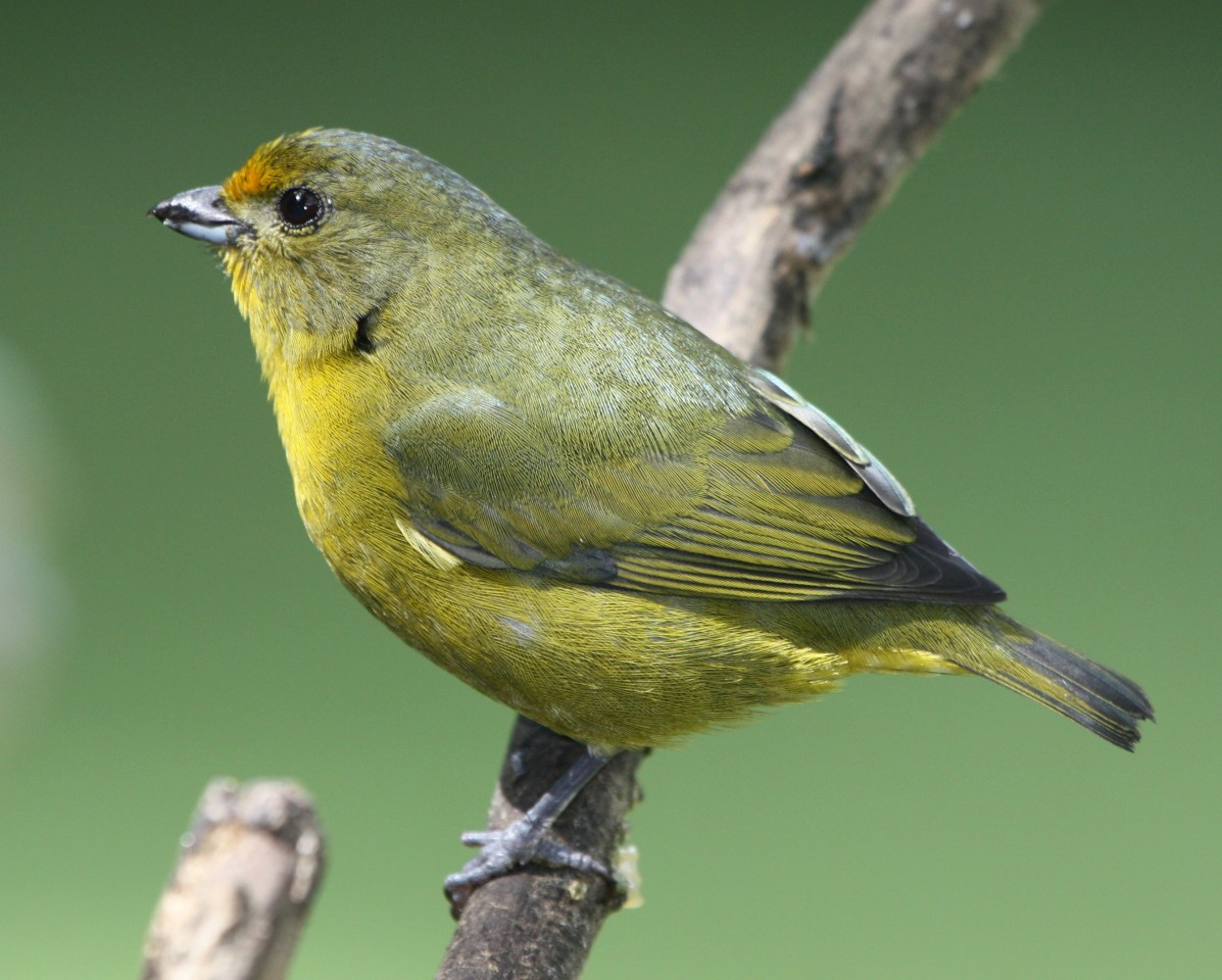 Orange-bellied Euphonia (female)