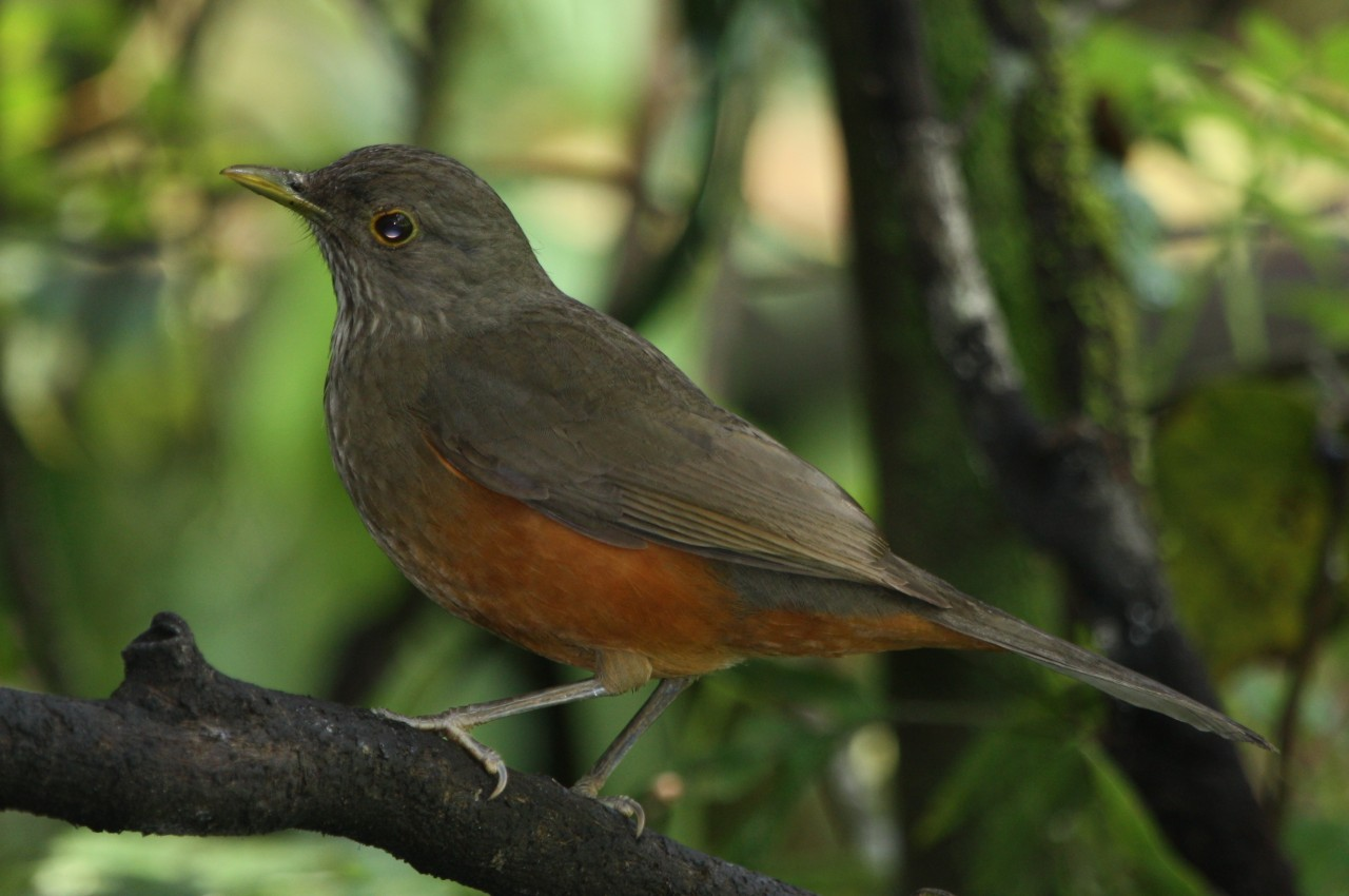 Rufous-bellied Thrush