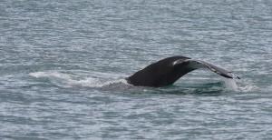 Humpback Whale_4037
