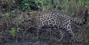 Jaguar_8784
