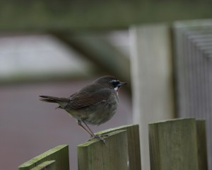 Siberian Rubythroat_8680