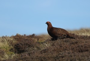 Red Grouse_9954