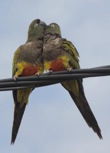 burrowing-parakeets_5622