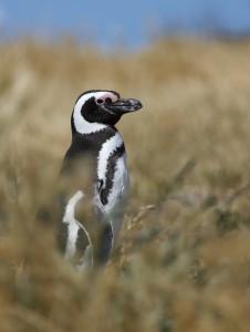 magellanic-penguin_5373