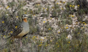 tawny-throated-dotterel-b_6767