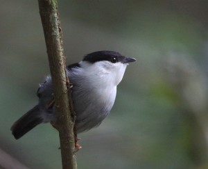 white-bearded-manakin_7955