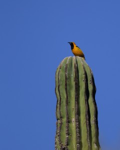 Hooded Oriole_0232