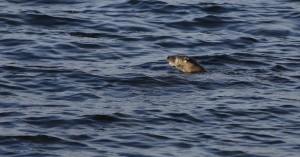 Otter_0944