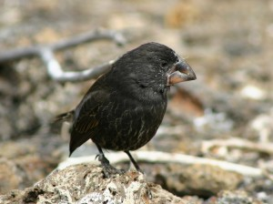 11 Large Ground Finch