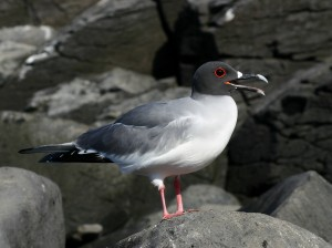 201 Swallow-tailed Gull