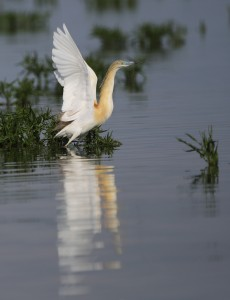 Squacco Heron_1474