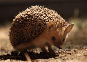 Long-eared Hedgehog, Mongolia 2017