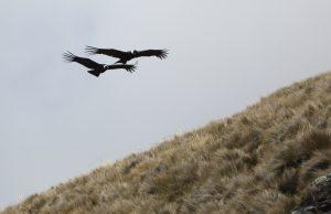 Andean Condors, Ecuador 2018