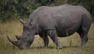 White Rhino, Uganda 2020