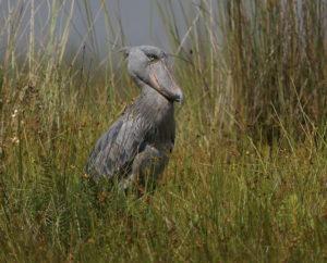 Shoebill, Uganda 2020