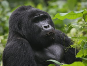 Mountain Gorilla, Uganda 2020