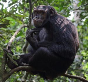 Chimpanzee, Uganda 2020