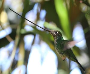 Sword-billed Hummingbird, Ecuador 2020