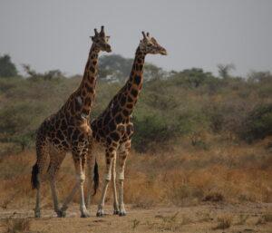 Rothschild Giraffes, Uganda 2020