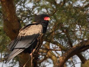 Bateleur, Uganda 2020