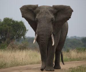 African Elephant, Uganda 2020