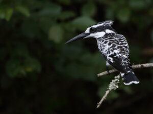 Pied Kingfisher, Uganda 2020