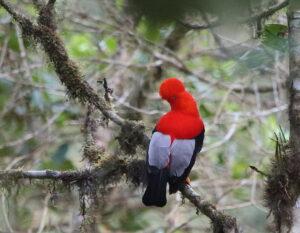 Andean Cock-of-the-Rock, Ecuador 2018