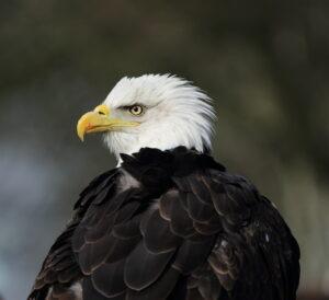 Bald Eagle, Florida 2009