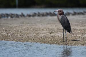 Reddish Egret, Florida 2009
