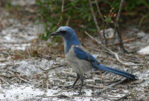 Florida Scrub Jay, Florida 2009