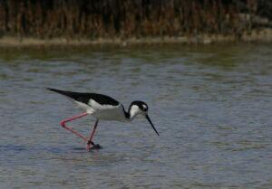 Black-necked Stilt, Florida 2009