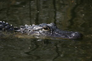 American Alligator, Florida 2009