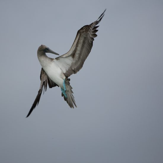 Blue-footed Booby_1562