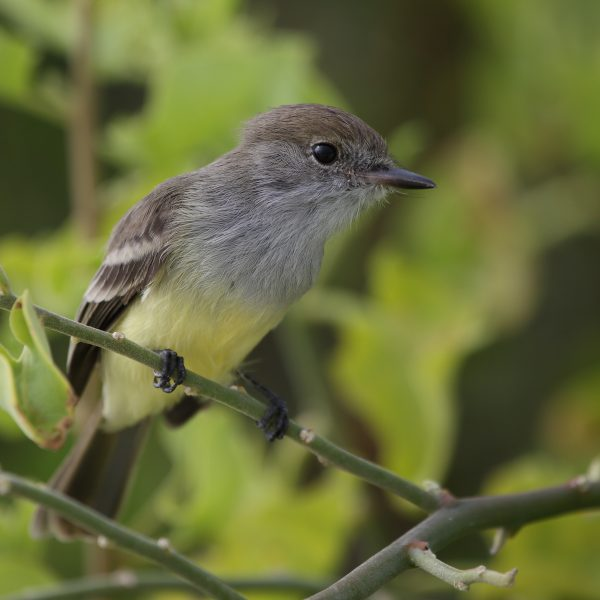 Galapagos Flycatcher_2225