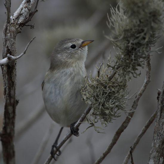 Grey Warbler Finch_1184