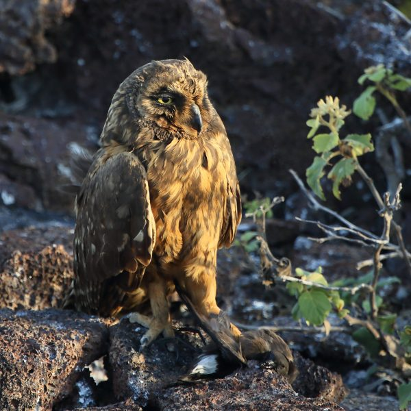 Short-eared Owl_5802
